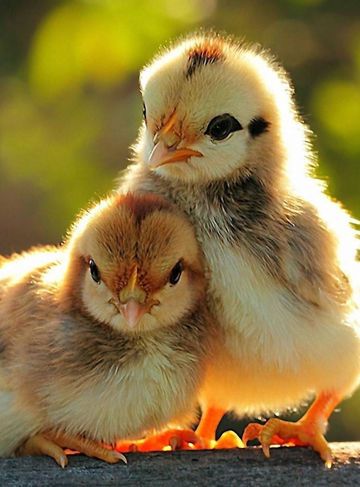 Child Chickens