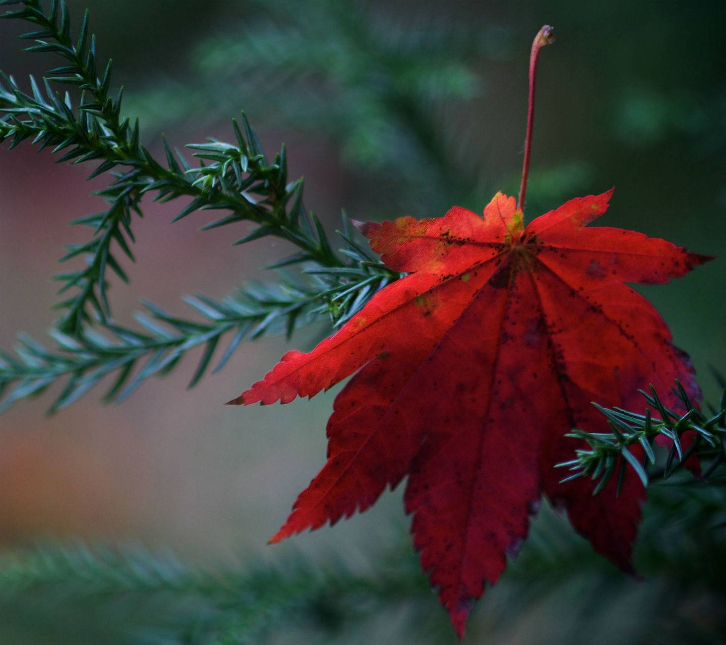 Red Autumn Hd