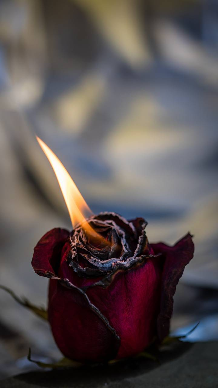 Rose Fire Bud