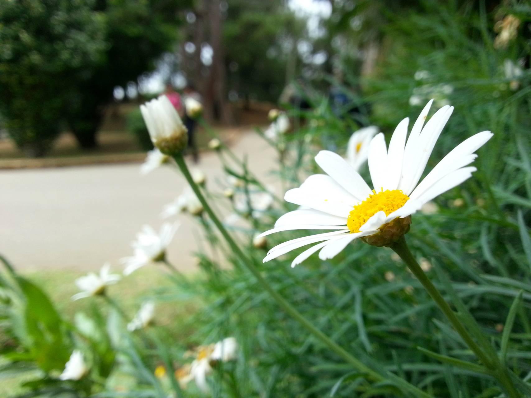 White flower dasiy