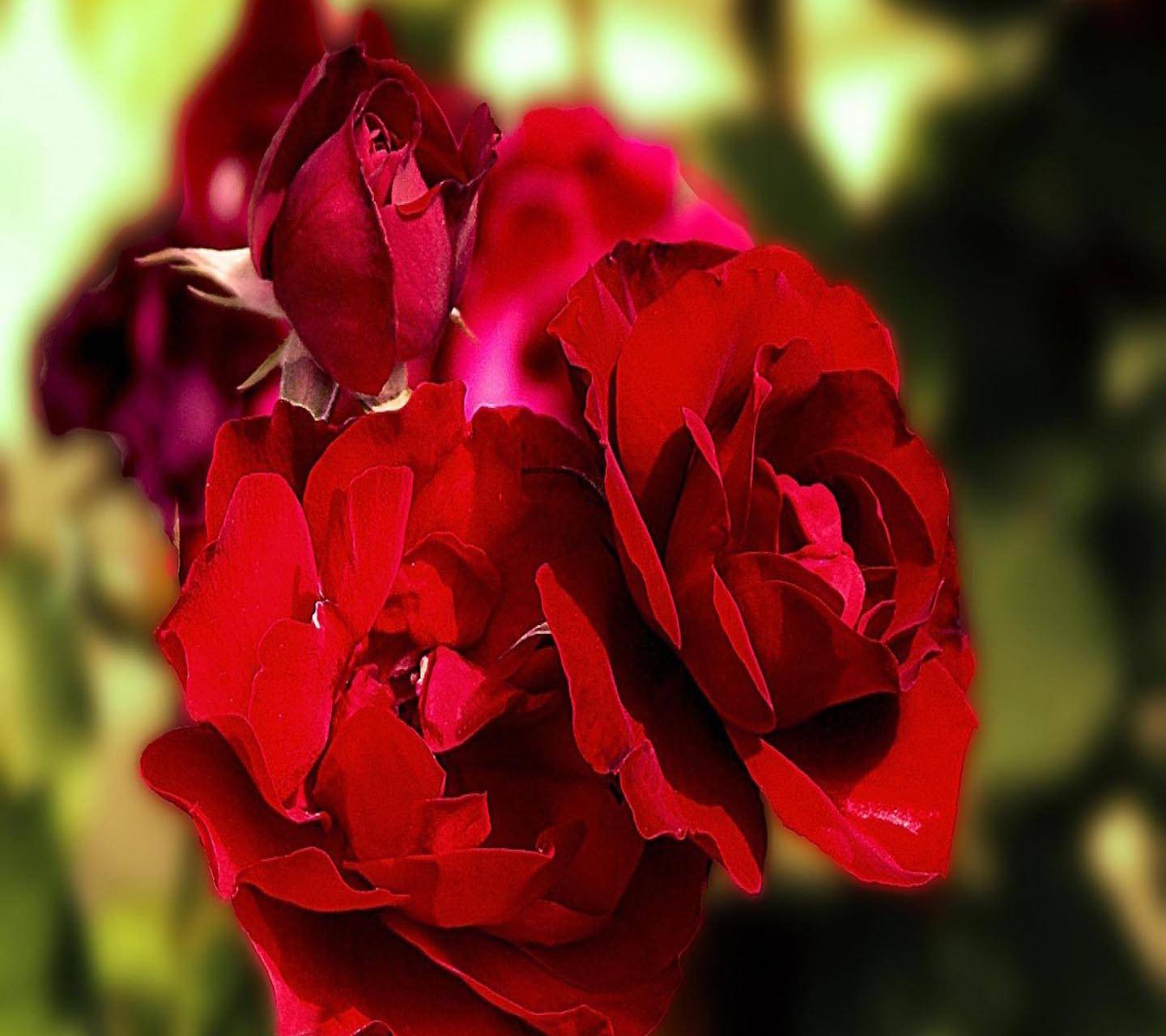 Lovely Red Rose Wallpaper By Luckyman 18 Free On Zedge