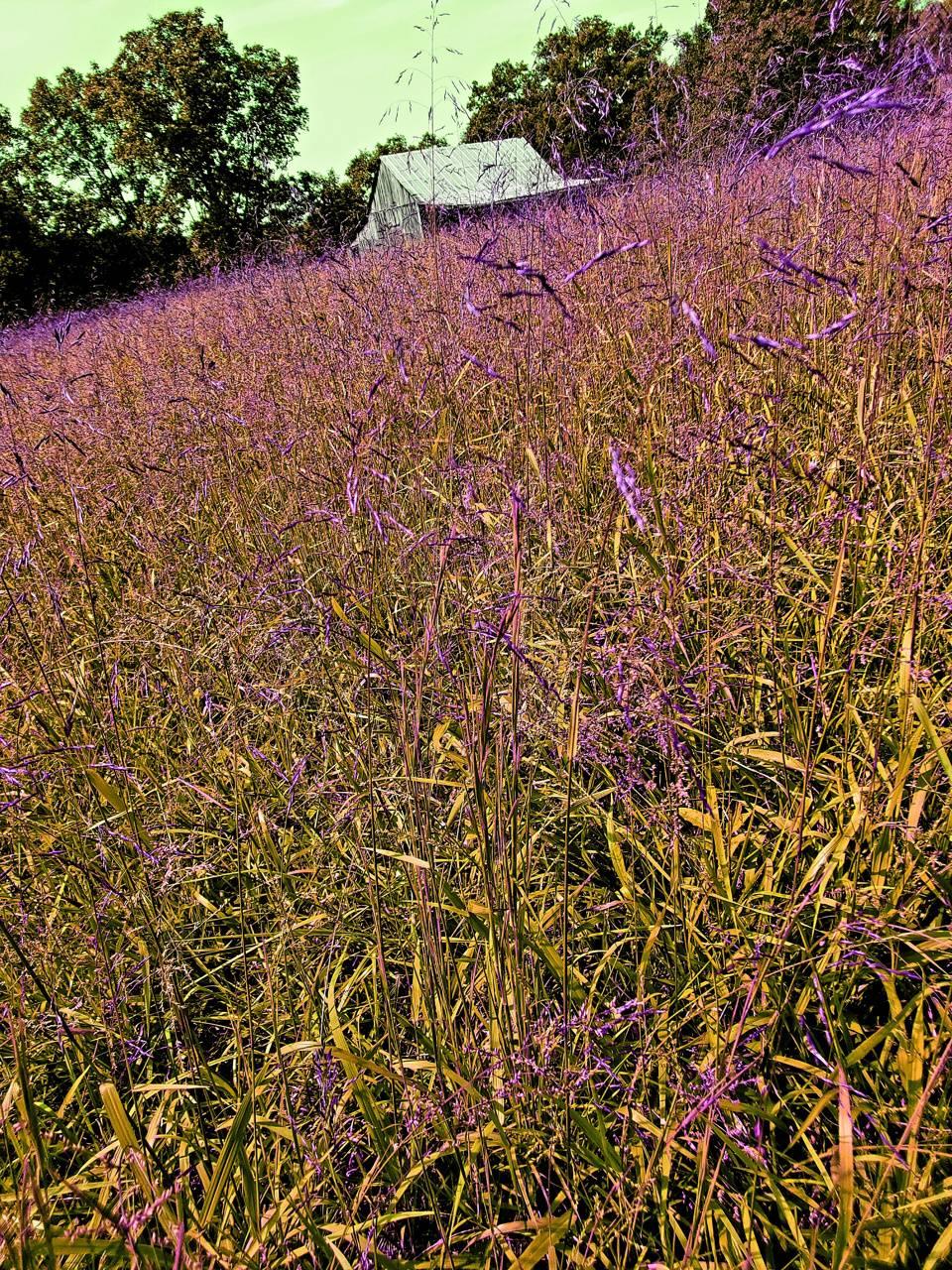 Tall Purple Grass