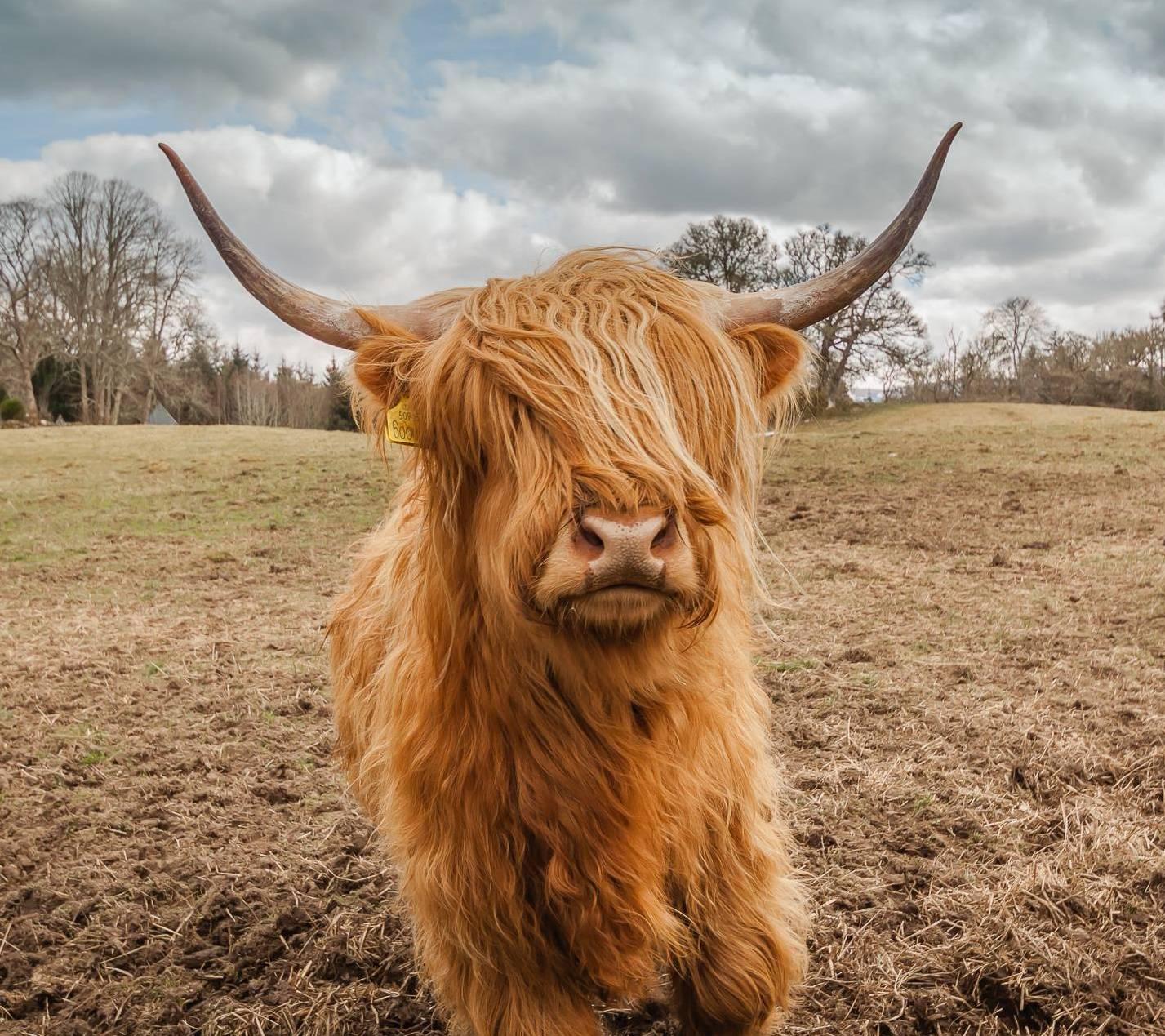 hairy coo cow