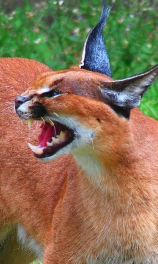 Angry Caracal
