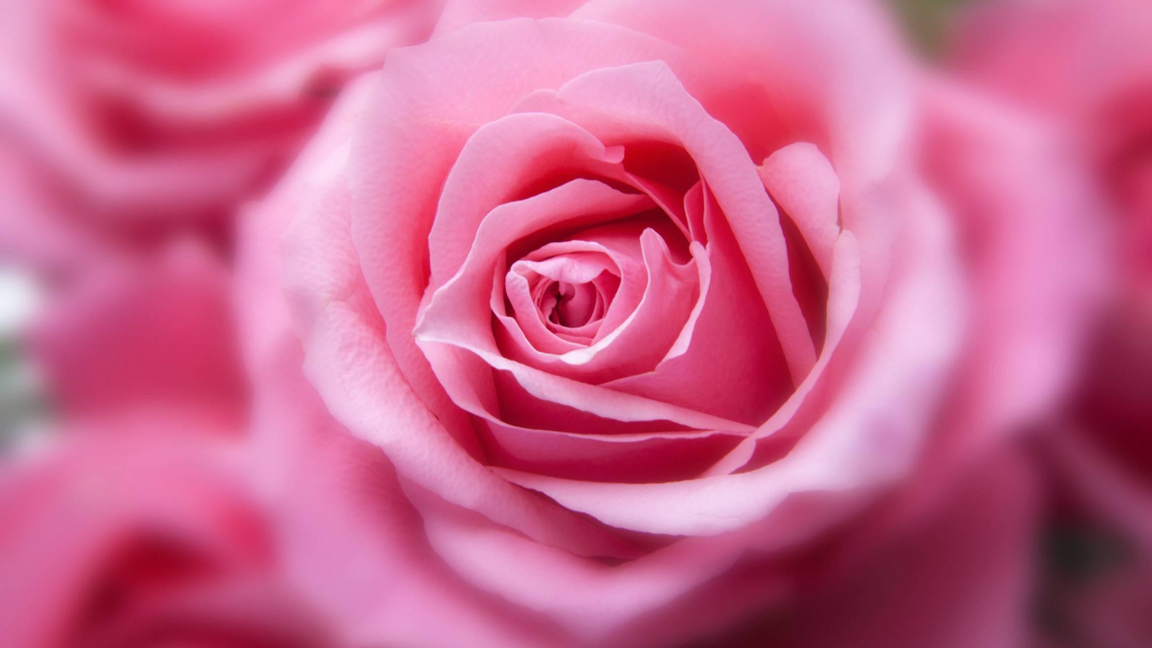 Bink rose
