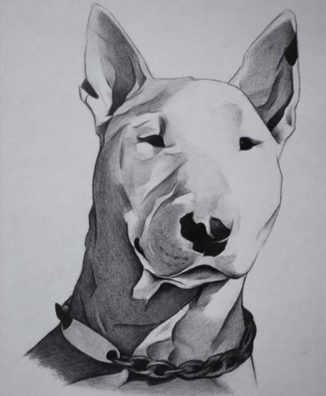 Bull terrier Coco