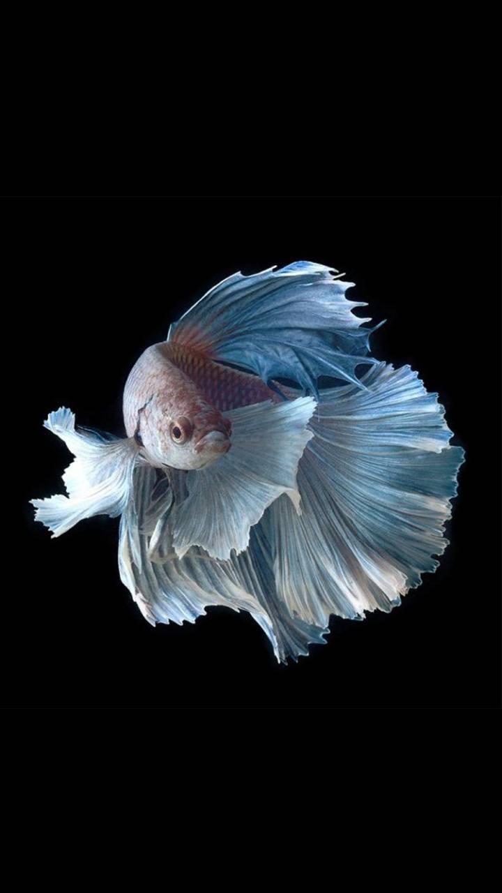 Fighterfish walpaper