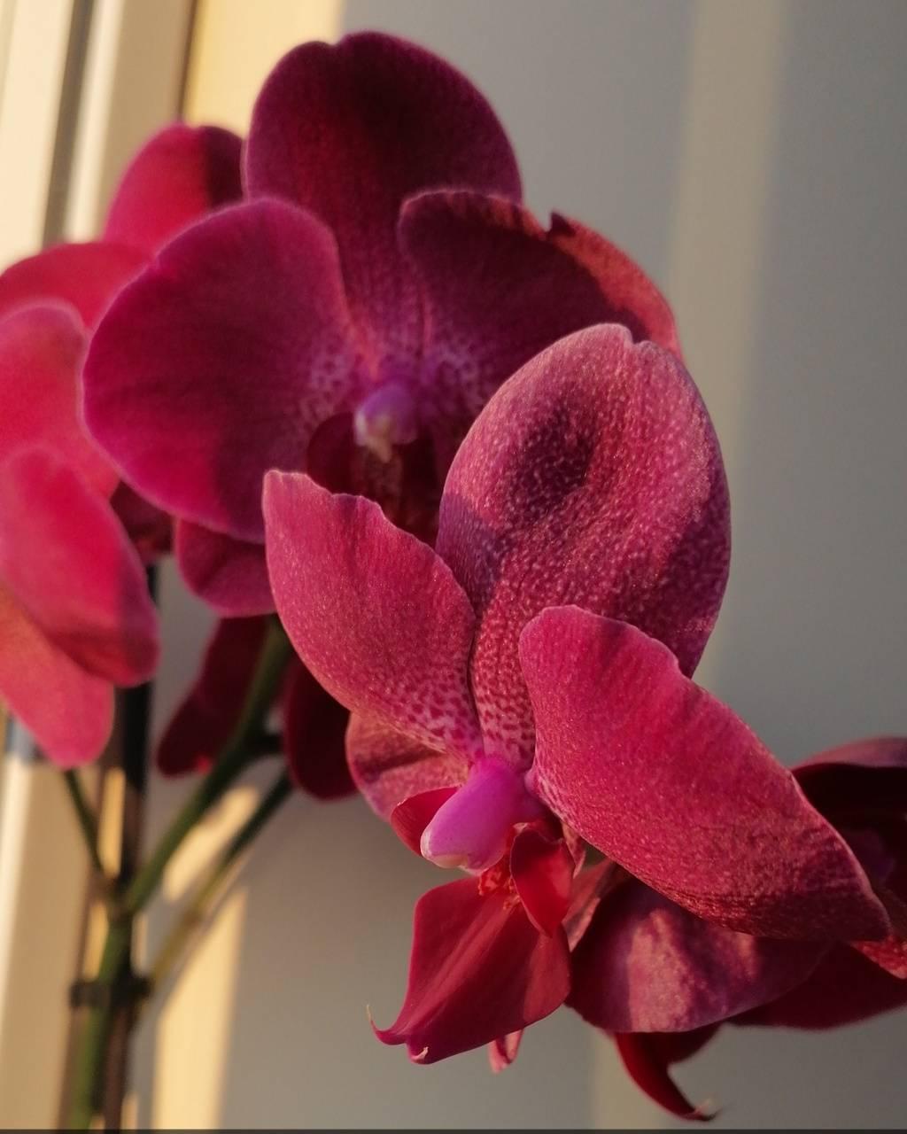 Golden hour orchid