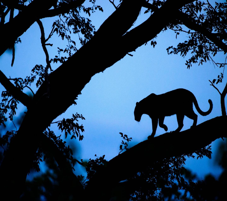 Panthera pardus