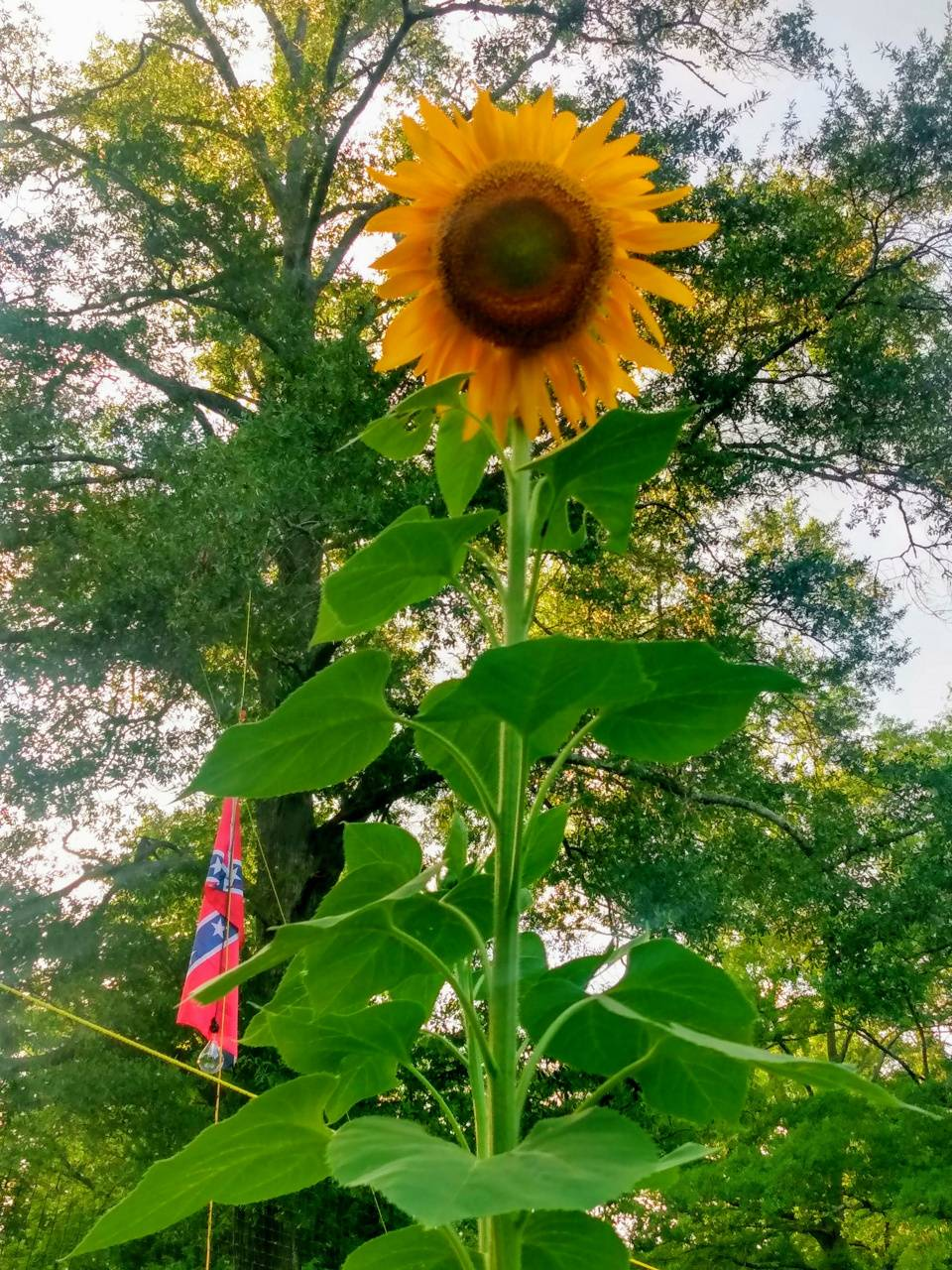 Redneck sunflower
