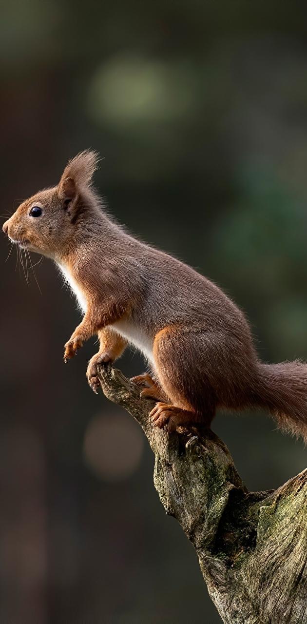 Squirrel in wildlife