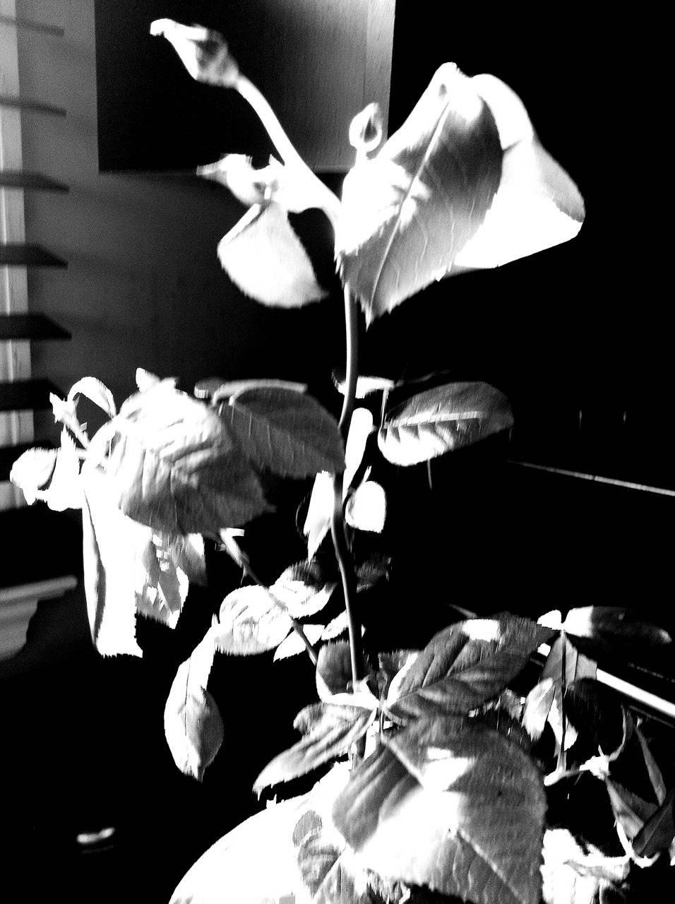 Sentimental roses