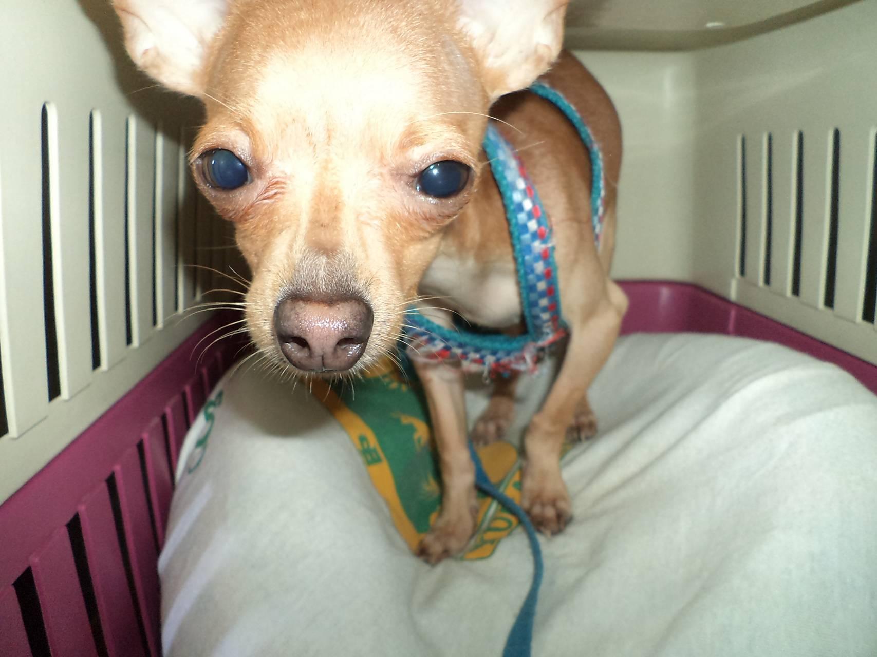 Chihuahua delicius