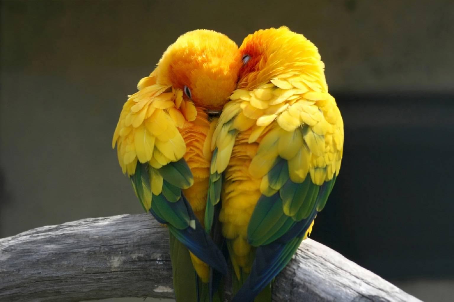 Yin and Yang parrots