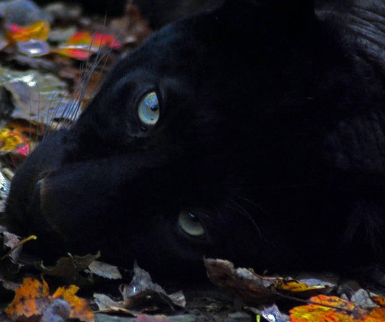 panther blue eyes