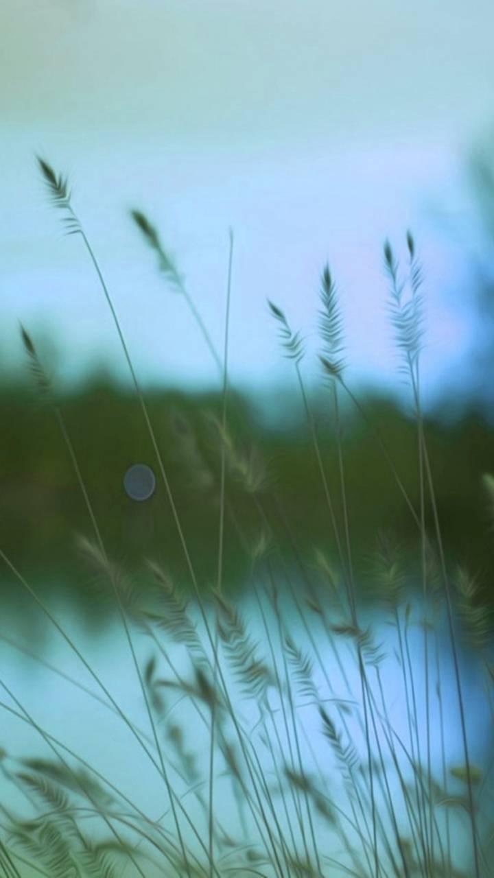 hd wheat