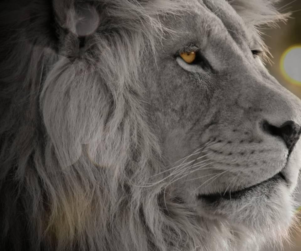 Lion Mac wallpaper