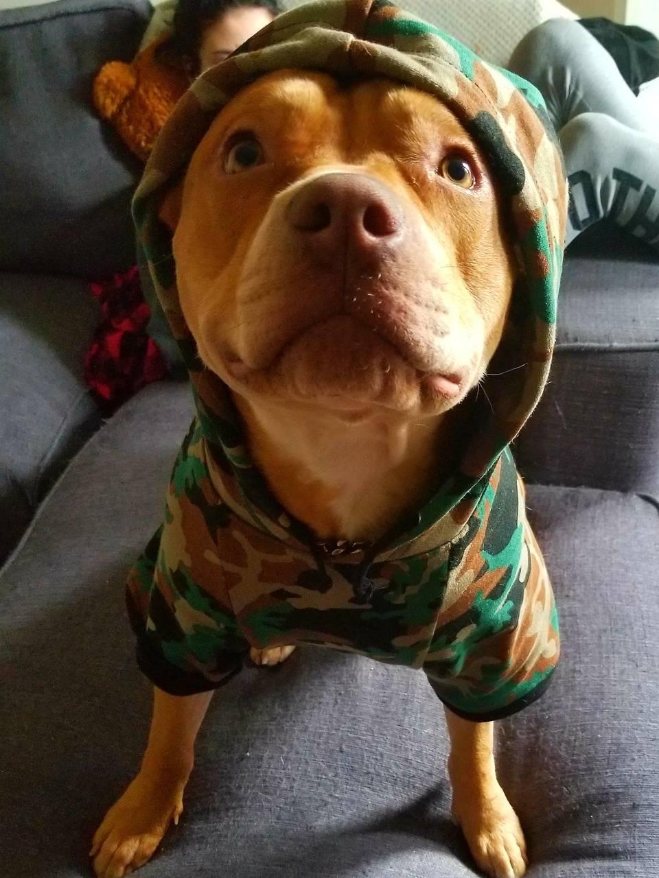 loco pitbull