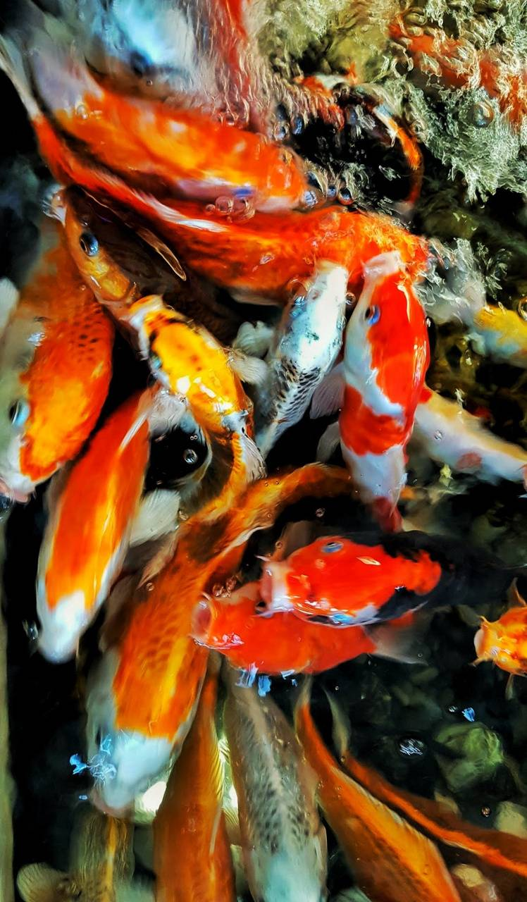 Uhd goldfish