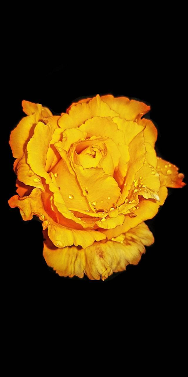 Yellow Rose eoS
