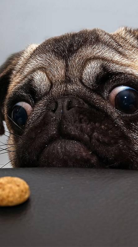 Pug N Cookie