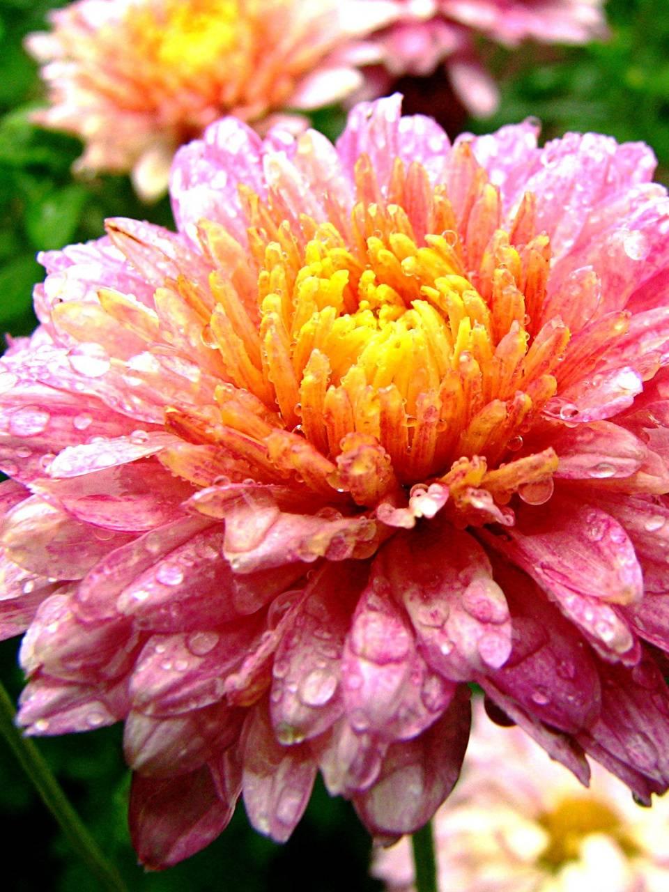autumn flower drops
