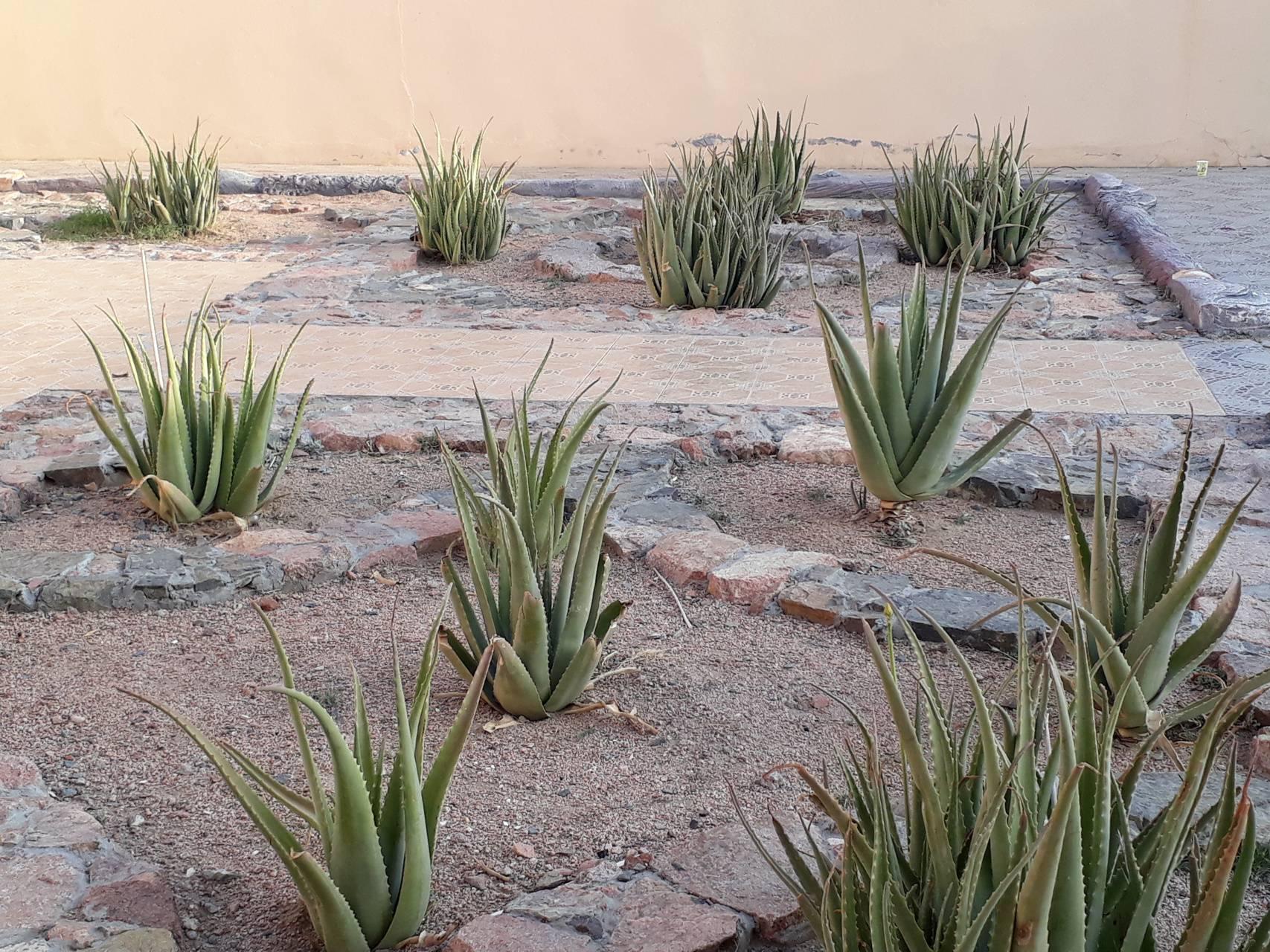 Aloe Vera Garden