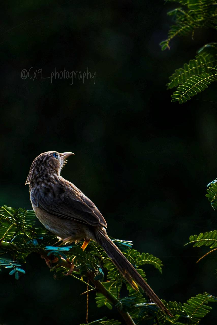 The Common Babbler