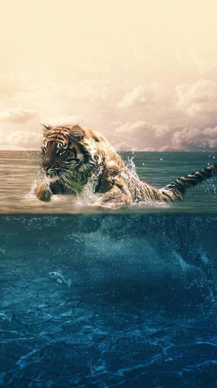 tiger-running- sea