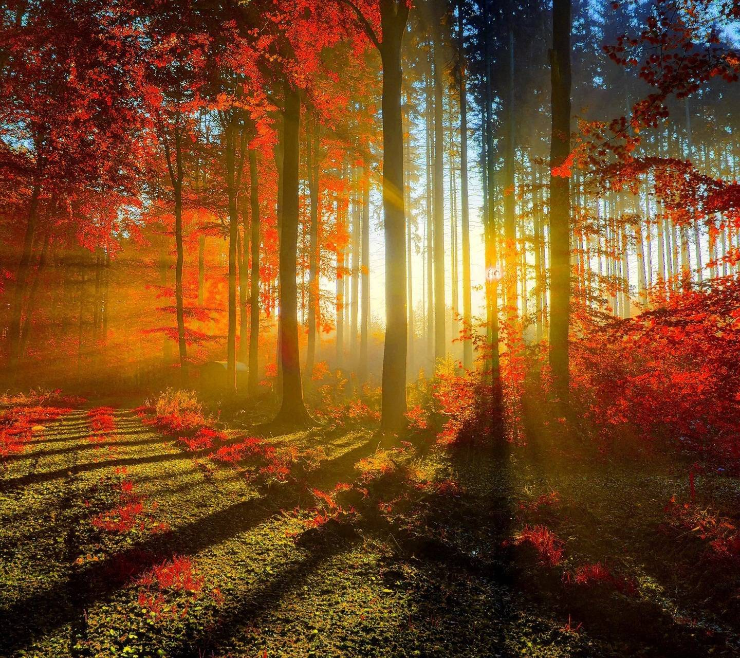 Red Forest Hd