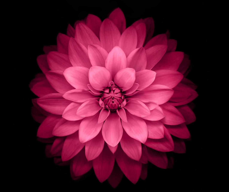 Pink lottus
