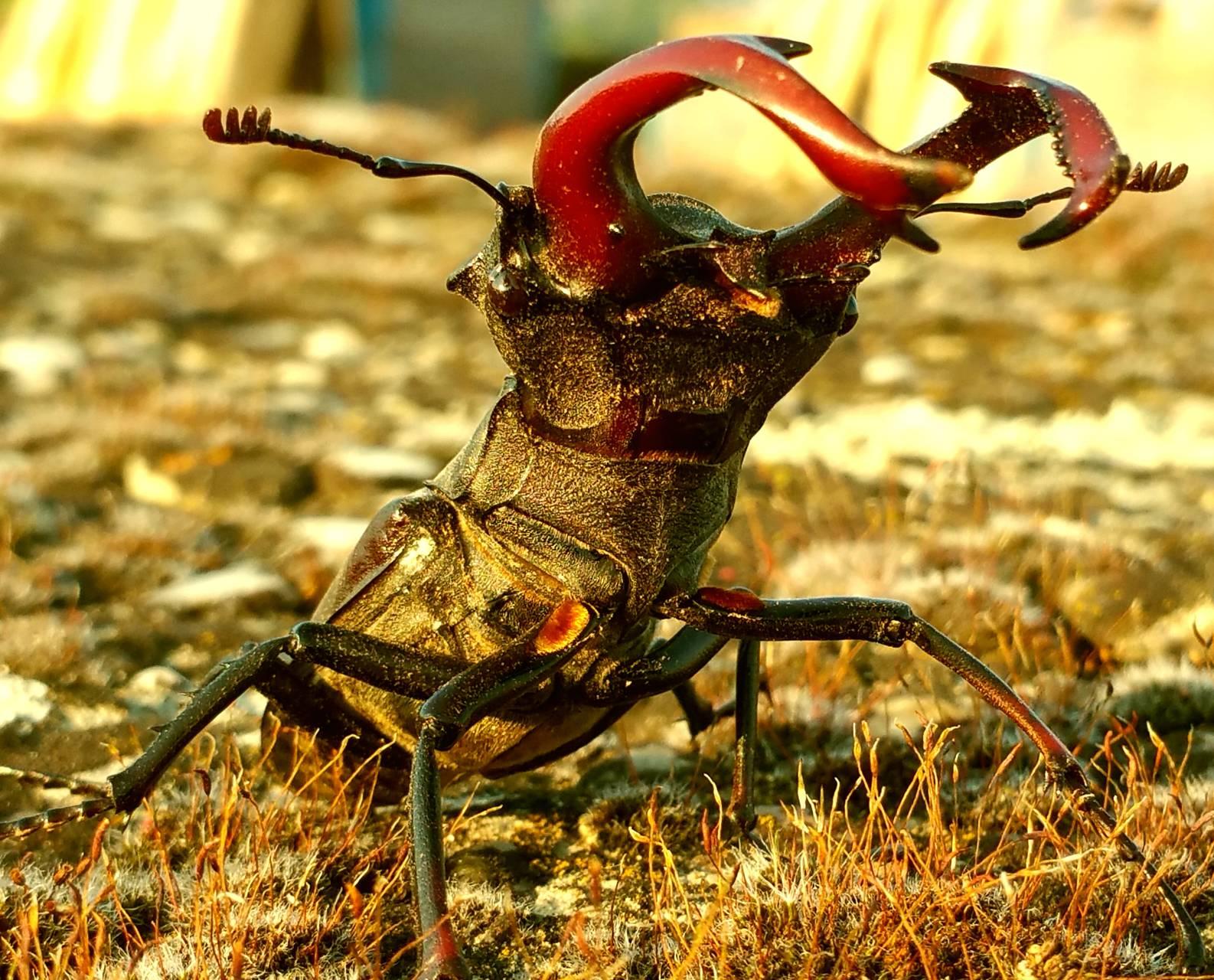 Stag Beetle