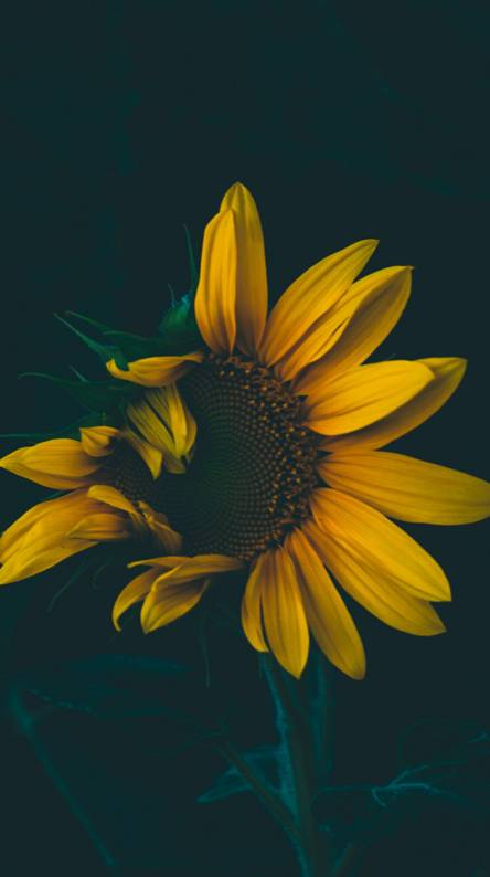 Sunflower Wallpapers - Free by ZEDGE™