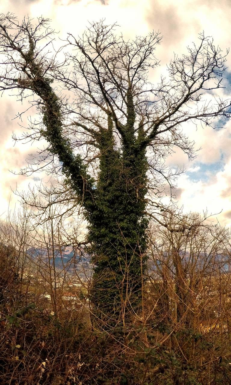 Invaded tree