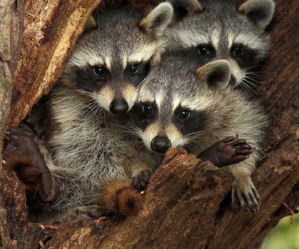 3 tree racoons