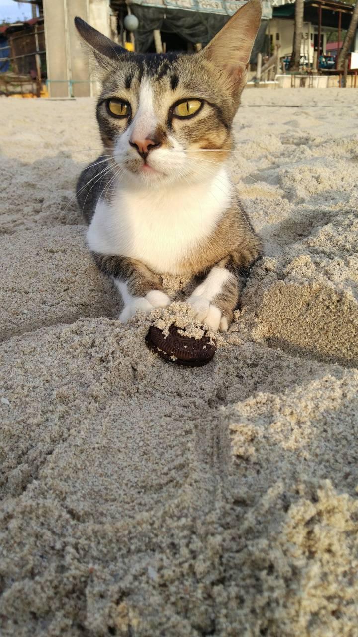 Oreo Beach Cat
