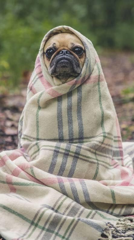 Pug in blanket