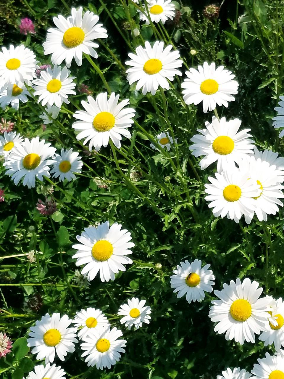 Sweet Daisys