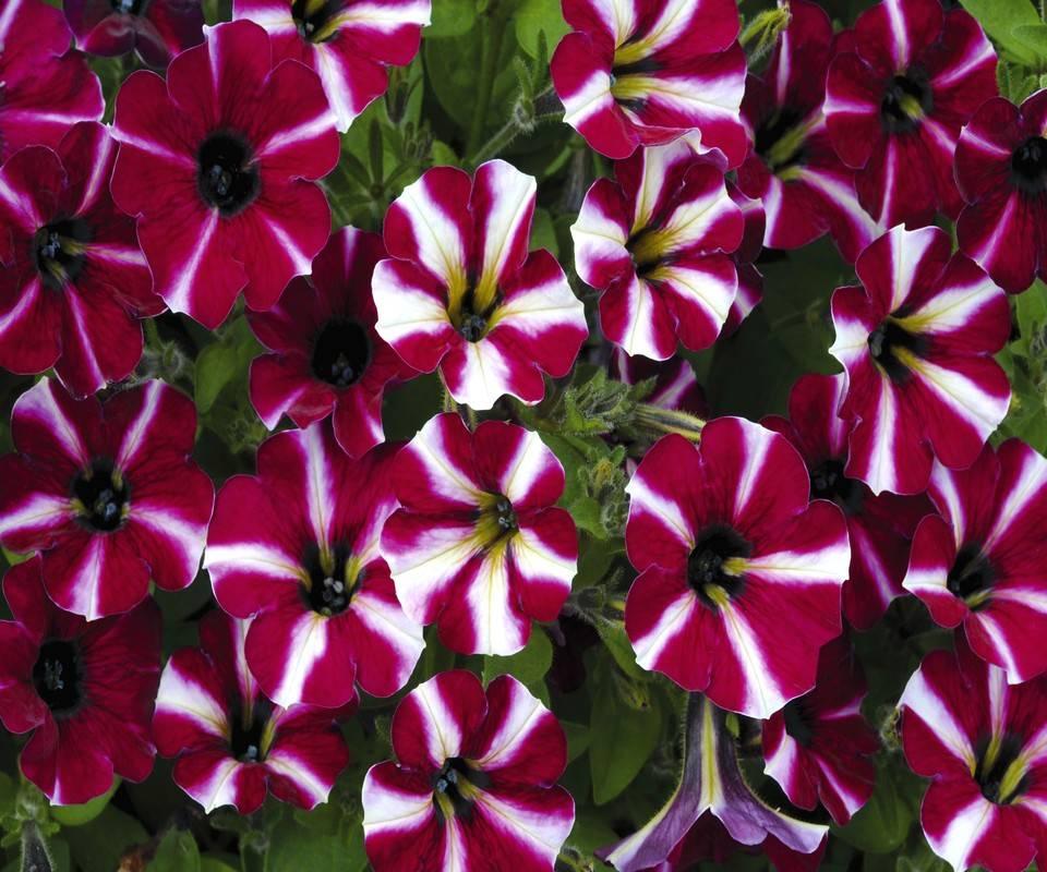 Stripe Flowers