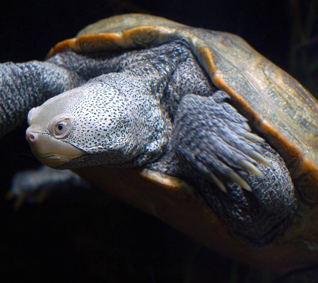 Baltimore Turtle