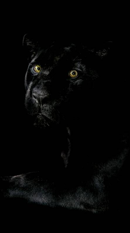 Black Panthers Wallpapers Free By Zedge