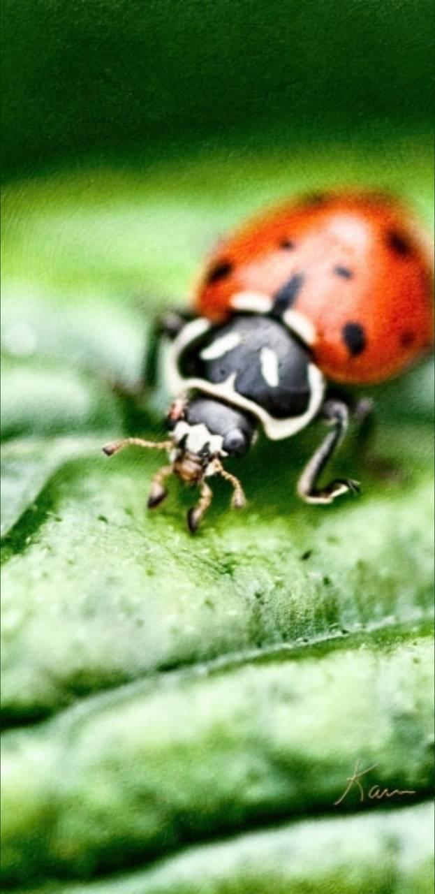 BSI Ladybug 03