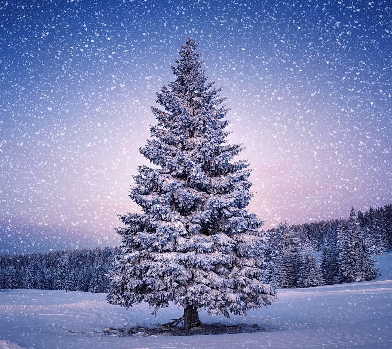Snowy Fir-tree