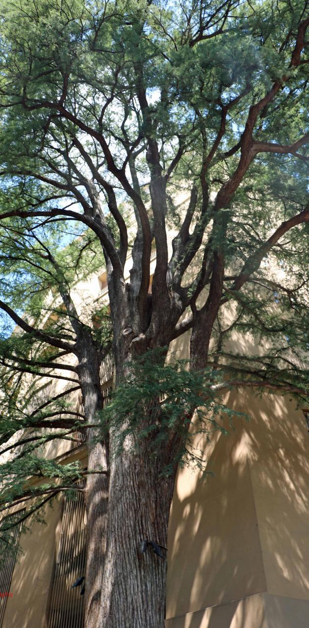 San Antonio Tree
