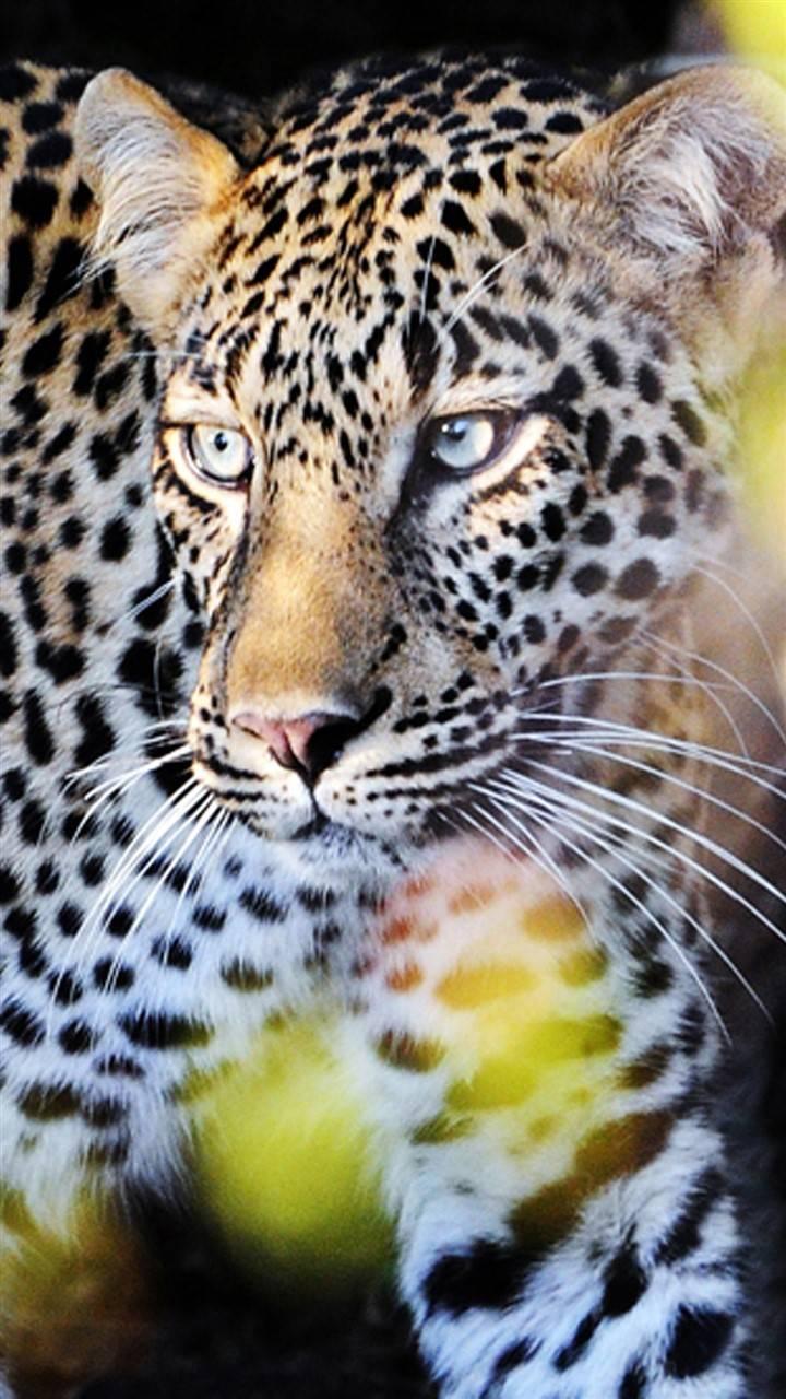 Perfect Leopard
