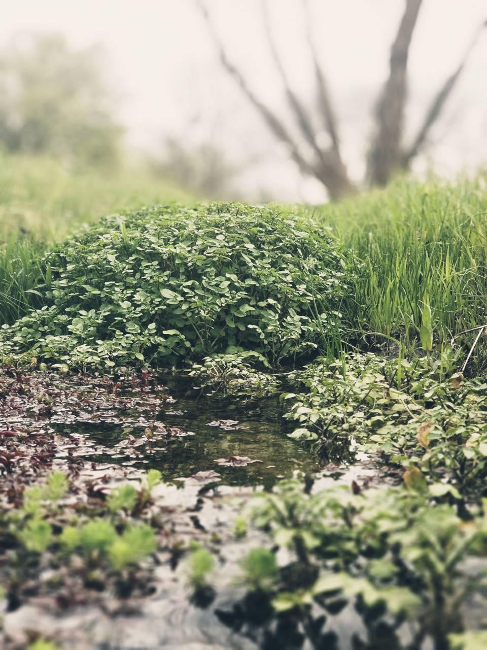 Pond Greenery