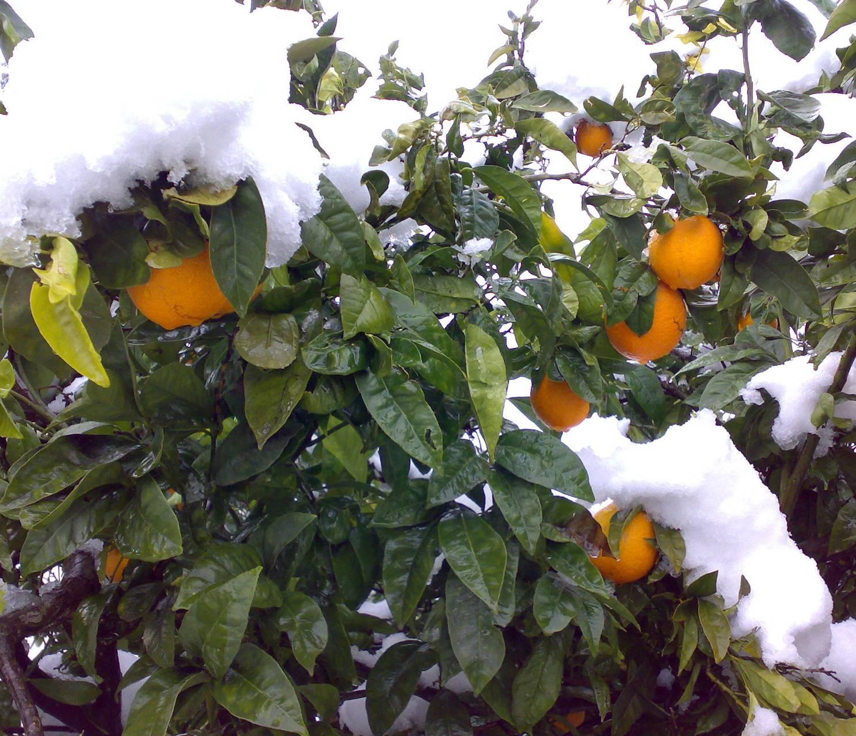 Orange Tree Covered