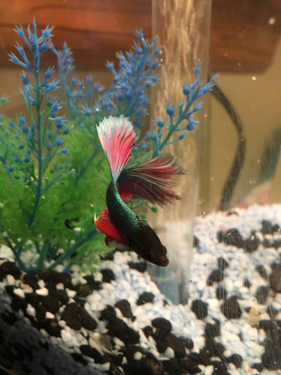 Rainbow Beta Fish