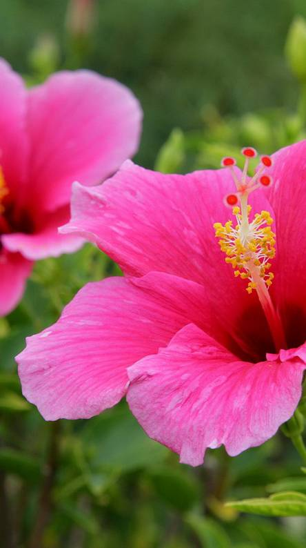 Pink Hibiscus Hawaii