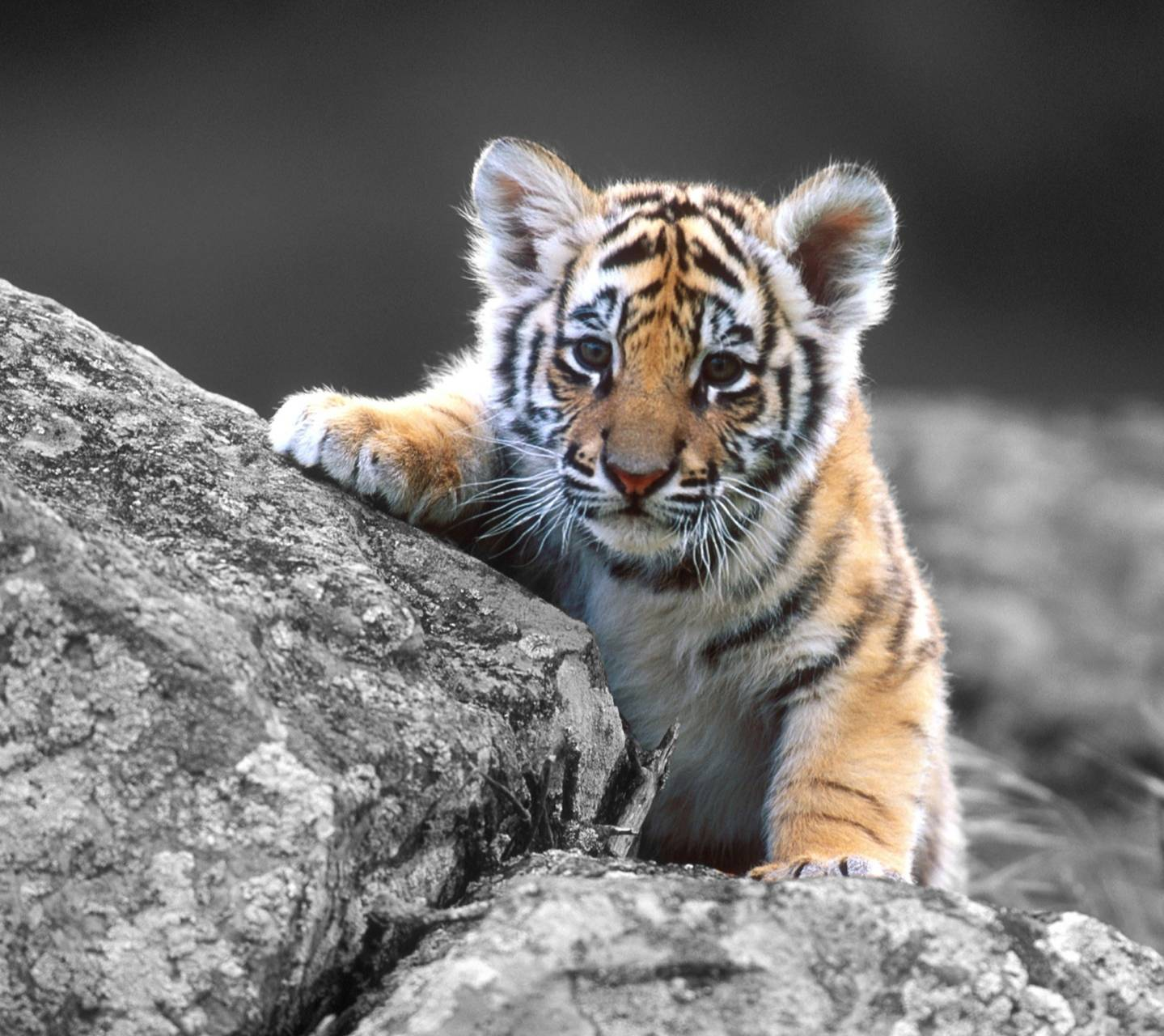 Cute Baby Tiger Wallpaper By XxSalmanAlixX